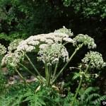 Invasive Plants: Giant Hogweed