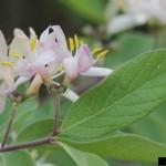Invasive Plants: Honeysuckle