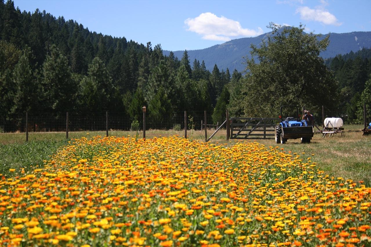 Restoration Agriculture: Calendula seed crop