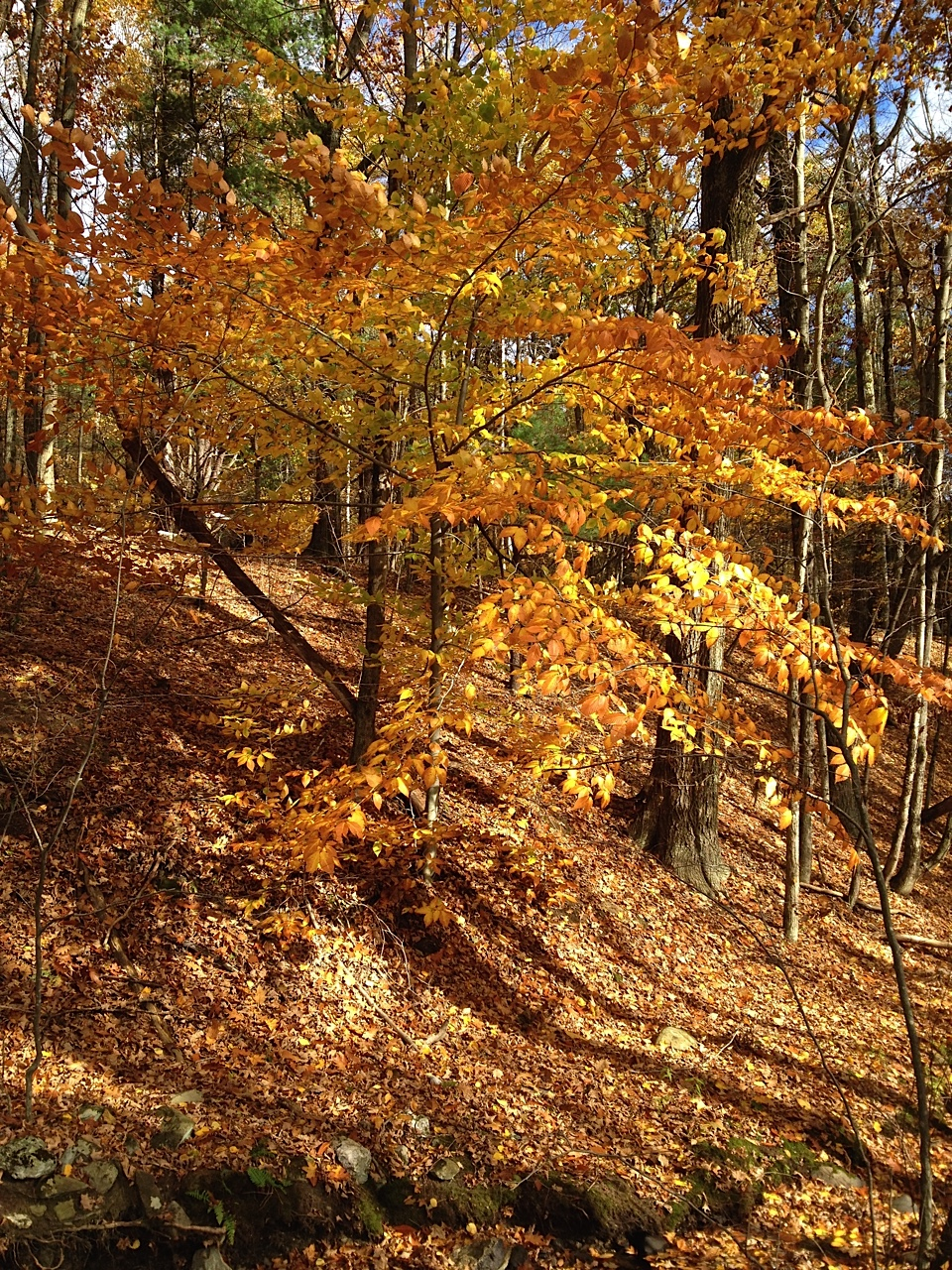 Native plant: American beech