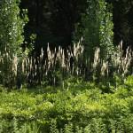 Edible and Medicinal Plants: Black Cohosh
